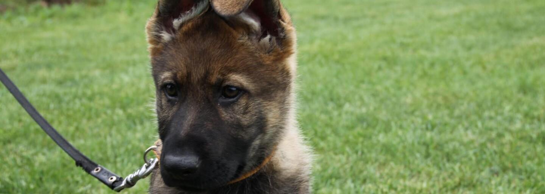 Policie k sobě přibírá čtyři nové psí parťáky. Je jim 10 týdnů a budou doplňovat tým ostřílených vyšetřovatelů