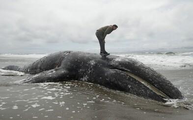 Poprední vedci napísali varovný list: Veľryby môžu zmiznúť z našej planéty, dva druhy sú už teraz na pokraji vyhynutia