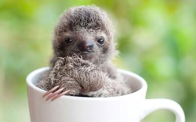 Poslední záchrana pro malé lenochody. Útulek pomáhá opuštěným sirotkům s návratem do přírody