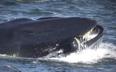 Potápač uviazol priamo v papuli obrovskej veľryby. Zviera ho takmer prehltlo so stovkami rýb