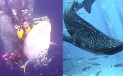 Potápači si zajazdili na ohrozenom žralokovi. Týranie zvieraťa prinútilo konať aj políciu