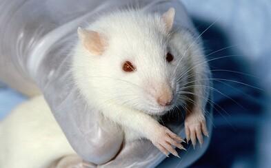 Potkan, ktorý v podstate nemá mozog, stále vidí, jeho sluch aj čuch fungujú normálne
