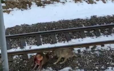 Pozri sa ako v Tatrách za bieleho dňa zaútočil vlk na jelenča. Po mláďati neskôr prešla električka