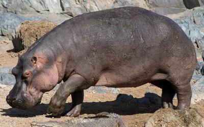 Pražská zoo má nový přírůstek. Přicestoval k nim tříletý hroch Tchéco