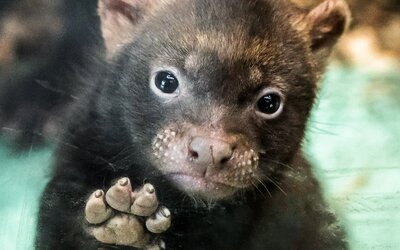 Pražská zoo slaví přírůstek! Trojice roztomilých štěňat psů pralesních se ve výbězích objeví zřejmě již tento týden