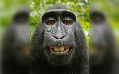 Pred rokmi spravil opici selfie. Teraz je medzi nimi súdny spor a David tvrdí, že mu primát zničil život