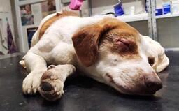 Pri Bardejove niekto vypálil psíkovi oči žieravinou. Bezbranné zviera počas sviatkov prežívalo ukrutné bolesti