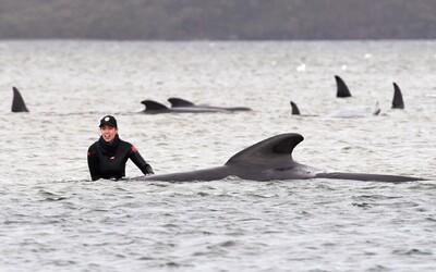 Pri pobreží Austrálie uviazlo takmer 500 veľrýb. Vyše polovica z nich už zahynula