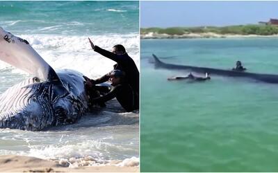 Pri pobreží mexického ostrova uviazla 18-metrová veľryba. Miestnym sa ju však podarilo zachrániť a poslať späť na more