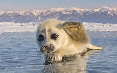 Při pohledu na roztomilá tuleňátka se neubráníš úsměvu. Zachytit jejich krásu trvalo fotografovi celé tři roky