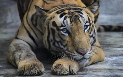 Případ tygra, který ženě na Pardubicku ukousl ruku, policie odložila bez obvinění
