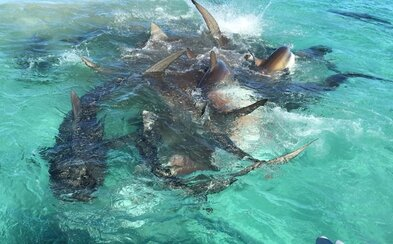 Príroda vie byť nemilosrdná. Až 70 žralokov sa pri pobreží Austrálie pustilo do mŕtvej veľryby