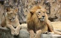 Proč museli na Vsetínsku zastřelit oba lvy? Přečti si vysvětlení od zoo, která úkon vykonala