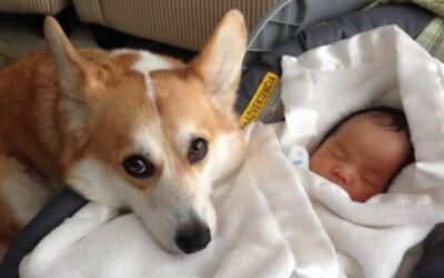 Psík Wilbur sa stal strážcom malého novorodeniatka