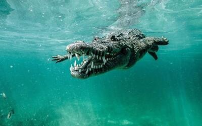 Původně chtěl fotit žraloky, ale nakonec pořídil dechberoucí a málo vídané záběry krokodýlů