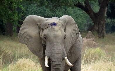 Pytláci v Africe střelili slona do hlavy, ale on to přežil a našel veterináře, aby ho zachránili