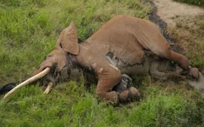 Pytliaci zabili ikonického 50-ročného slona Sataa so vzácnymi klami. Jeho druh postupne vymiera, zostáva ich už len 25 kusov