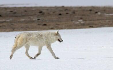 Pytláci zastřelili nepředstavitelně vzácného, téměř vyhynulého bílého vlka přímo v národním parku. Zůstávají už jen dva