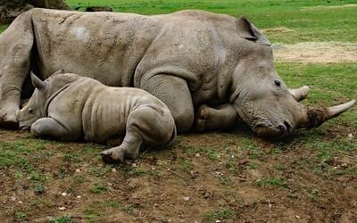 Pytliaci zavraždili vzácneho nosorožca kvôli rohu dlhému 1 centimeter. Samica po sebe zanechala aj malé mláďa
