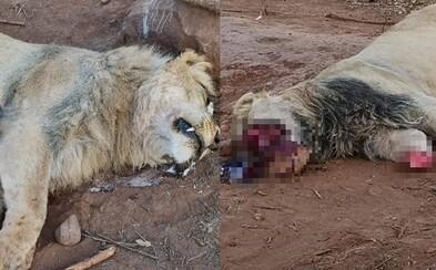 Pytliaci zmasakrovali 5 levov. Jednému z nich odrezali predné laby aj časť tváre