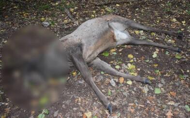 Pytliak jeleňovi odrezal hlavu s parožím, čím spôsobil škodu za 2 000 €