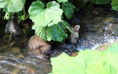 Pytliak zabil maličkého medveďa, ktorému prestrelil obidve zadné nohy. Bystrickí policajti už začali pátranie