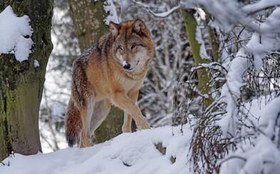 Vědci poprvé zpozorovali vlka, který opustil radioaktivní zónu u Černobylu. Genetické mutace se zatím nijak neprojevily