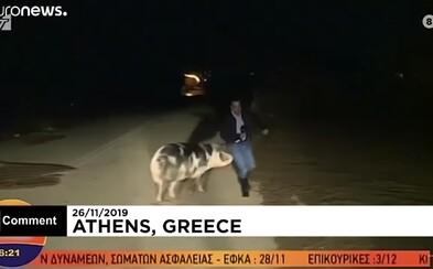 Reportéra počas živého vysielania naháňalo prasa