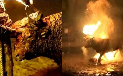 Rohy býka zviazali zapáleným drevom, čím mu spôsobili mnohé bolestivé poranenia tváre