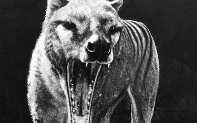 Rozoberanie záhad: Žije ešte legendárne austrálske zviera pripomínajúce vlka kdesi v hlbokých lesoch Tasmánie?