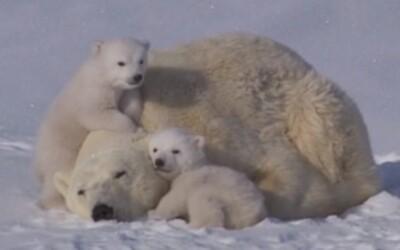 Roztomilá rodinka ľadových medveďov zachytená na videu