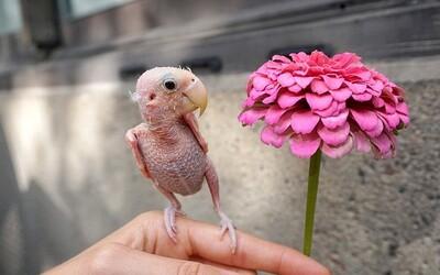 Roztomilá samička papagája Rhea kvôli chorobe stratila pierka. Jej profil na Instagrame sleduje vyše 170 000 ľudí