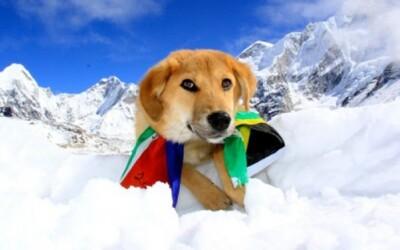 Rupee je prvým psom, ktorý sa vyštveral na Mt. Everest