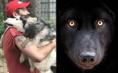 Rus se stará o zraněné vlky, kteří mu opětují objetí. Nádherná zvířata se Kirilla už nebojí