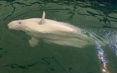 Ruská armáda zřejmě vycvičila velrybu ke speciálním operacím, tvrdí experti z Norska