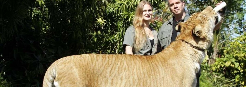 Ruská ZOO má nového kráľa. Roztomilý a mimoriadne vzácny liger Tsar sa narodil levovi a tigrici