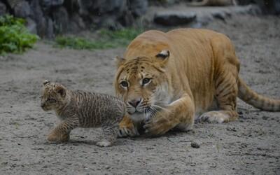 Ruská zoo má nového krále. Roztomilý a mimořádně vzácný ligr Tsar se narodil lvovi a tygřici