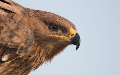Ruští vědci sledovali orly pomocí datového roamingu. Ptáci zaletěli do zahraničí, vědce faktura za SMS skoro zruinovala