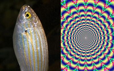 Ryba, která vytváří sny. Po její konzumaci následuje 36 hodin halucinací jako při užití mnoha populárních drog