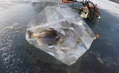 Ryba zamrzla při pokusu o sežrání druhé ryby a vzniklo z toho nečekané ledové umělecké dílo. Lidé si nejprve mysleli, že je to fotomontáž