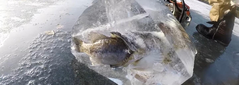 Ryba zamrzla pri pokuse o zjedenie druhej ryby a vzniklo z toho nečakané ľadové umelecké dielo. Ľudia si najskôr mysleli, že je to fotomontáž