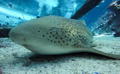 Samica žraloka Leonie sa 3 roky nestretla so samcom, ale aj tak sa jej vyliahli traja potomkovia. Ide o prvý zaznamenaný prípad takejto zmeny