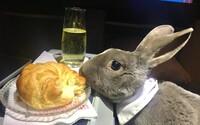 Samička zajaca Coco si užívala v lietadle biznis triedu, mala dokonca vlastné sedadlo. Posádka si malú pasažierku zamilovala