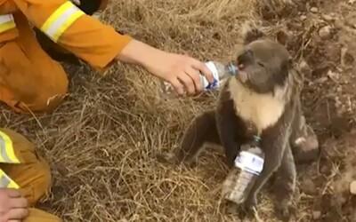 Sbírka pražské zoo vynesla 20 milionů korun na pomoc Austrálii
