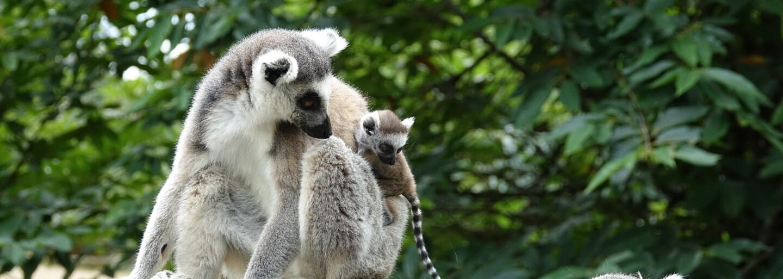 Sfajčený mladík sa vlámal do zoo, aby ukradol opicu pre svoju priateľku. Dolámal si tam nohu, vybil zuby a putuje za mreže