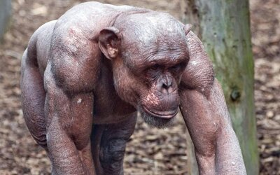 Šimpanz je štvornásobne silnejší ako človek. V šprinte by porazil aj Usaina Bolta