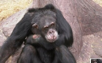 Šimpanzovi v zoo návštěvník hodil drogy. Zvíře se pak skoro ukousalo k smrti
