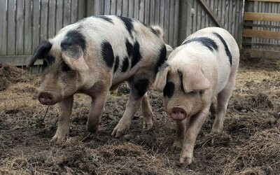 Škola zabije svoje prasiatka, aby študentov učila o hrozbách priemyslu s mäsom