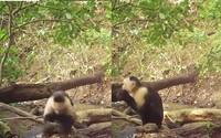 Skupina opíc dokáže používať kamene na získavanie potravy