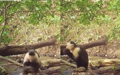 Skupina opic dokáže používat kameny k získávání potravy